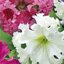 Фриллитуния Дайкири F1 крупноцветковая бахромчатая смесь окрасок - Семена Тут