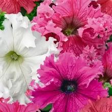 Фриллитуния Вдохновение F1 крупноцветковая бахромчатая смесь окрасок - Семена Тут