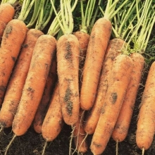 Морковь Нантская 4 (гелевое драже) - Семена Тут