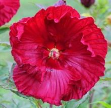 Гибискус Темно-Красный - Семена Тут