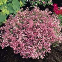 Гипсофила ползучая Розовая (Розовые сны) - Семена Тут