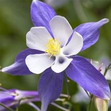 Аквилегия гибридная Голубая звезда - Семена Тут