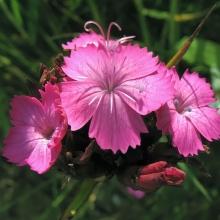 Гвоздика картузианская Розовый берет - Семена Тут