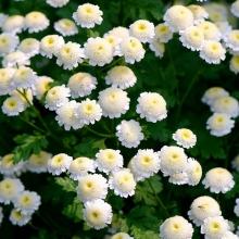 Хризантема девичья Снежные шары - Семена Тут