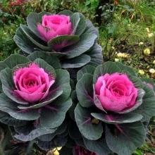 Капуста декоративная Розовая цапля F1 - Семена Тут