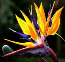 Стрелиция Райская птица - Семена Тут