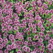 Тимьян Пурпурно-фиолетовый - Семена Тут