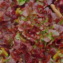 Салат Красный вельвет листовой - Семена Тут