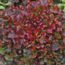 Салат Жар птица листовой - Семена Тут