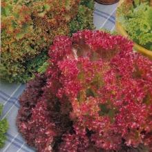 Салат Разноцветное кружево смесь - Семена Тут