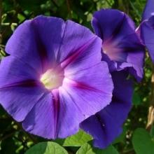 Ипомея Леди в фиолетовом - Семена Тут