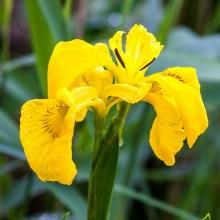 Ирис Желтый флаг (болотный) - Семена Тут