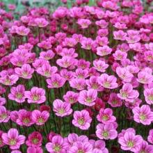 Камнеломка Розовый ковер - Семена Тут