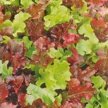 Салат Карусель листовой смесь - Семена Тут