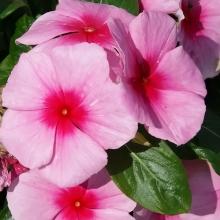 Катарантус розовый Султан - Семена Тут