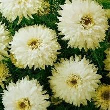 Хризантема непахучая Платье невесты - Семена Тут