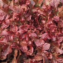 Салат Китеж ® листовой - Семена Тут
