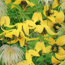 Клематис пильчатолистный Светлячок - Семена Тут