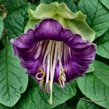 Кобея фиолетовая - Семена Тут