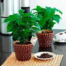 Кофе Арабика - Семена Тут