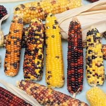 Кукуруза Конфетти - Семена Тут