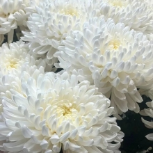 Астра Королева сада Белая - Семена Тут