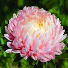Астра Королева сада Розовая - Семена Тут