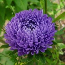 Астра Королева сада Синяя - Семена Тут