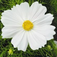 Космея Белая соната - Семена Тут