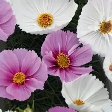 Космея Разноцветные воланы смесь - Семена Тут