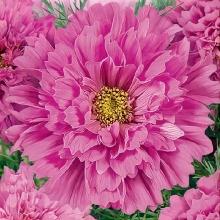 Космея Розовая долина махровая - Семена Тут
