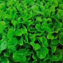 Салат Кружевница листовой - Семена Тут