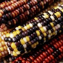 Кукуруза Самоцвет декоративная - Семена Тут