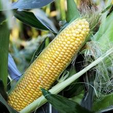 Кукуруза Сладкие бусы - Семена Тут