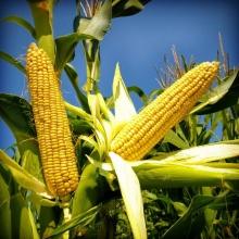Кукуруза Медовая Сказка - Семена Тут