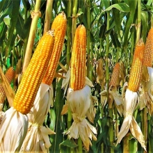 Кукуруза Попкорн - Семена Тут