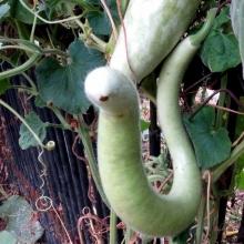 Лагенария Змеевидная - Семена Тут