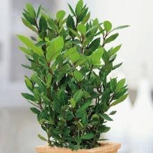Лавр Экзотика благородный вечнозеленый - Семена Тут