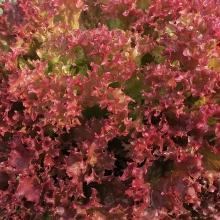 Салат Лолло Росса листовой бордовый - Семена Тут
