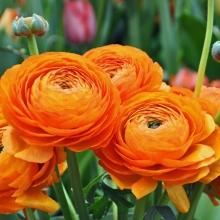 Лютик (Ранункулюс) Цветущая долина оранжевая F1 - Семена Тут