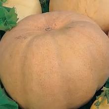 Тыква Мадам крупноплодная - Семена Тут