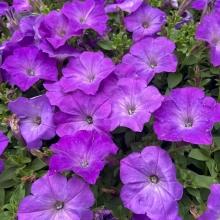 Петуния Магнит Фиолетовая - Семена Тут