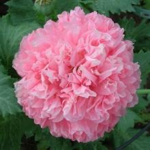 Мак пионовидный Молочно-Розовый - Семена Тут