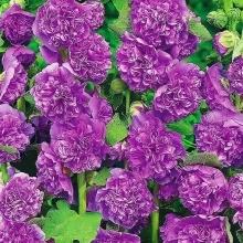 Мальва Фиолетовый бархат - Семена Тут