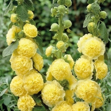 Мальва (шток-роза) Желтая королева - Семена Тут