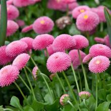 Маргаритка Фрау розовая