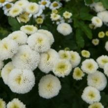 Матрикария (пиретрум девичий) Белые Звезды - Семена Тут