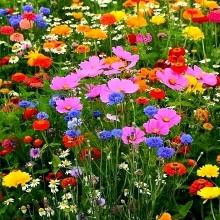 Мавританский газон Летняя сказка (Большой пакет) - Семена Тут