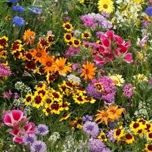 Мавританский газон Цветочный ковер (Большой пакет) - Семена Тут