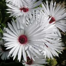 Мезембриантемум Белый - Семена Тут